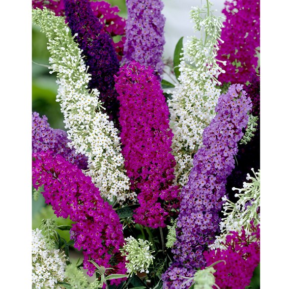 Buddleja Seeds - Butterfly Magnet Mix