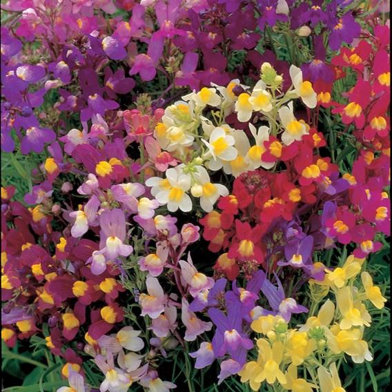 Linaria Seeds - Fairy Bouquet