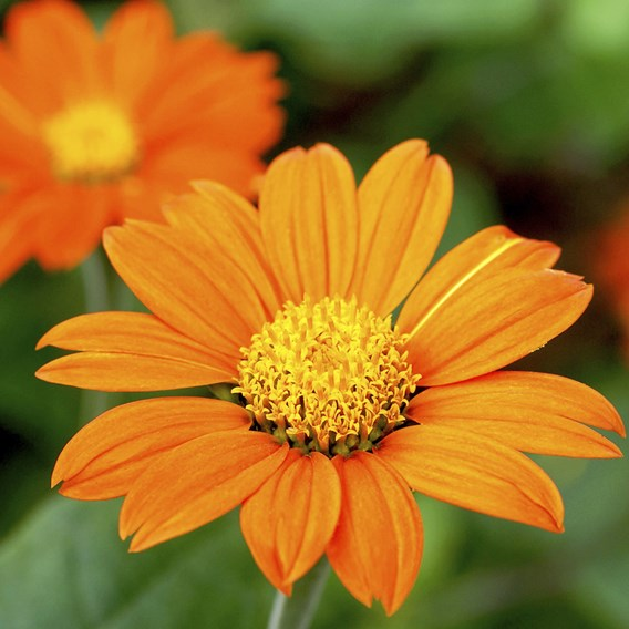 Tithonia Seeds - Orange