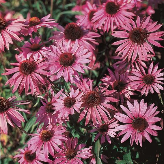 Rudbeckia Seeds - Purpurea, Brilliant Star