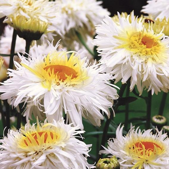 Leucanthermum Crazy Daisy (3) P9
