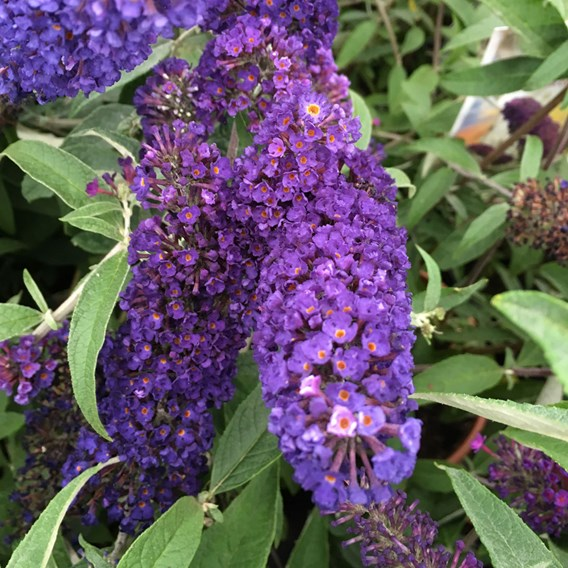 Buddleia Black Knight