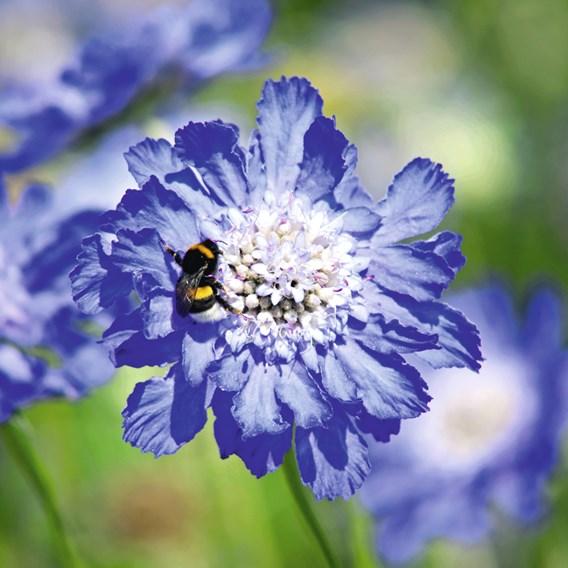 Scabious Plant - Fama Deep Blue