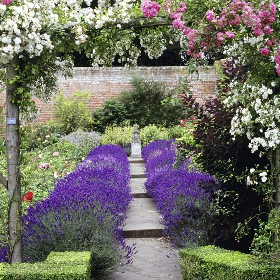 Lavender Hidcote (3) P3
