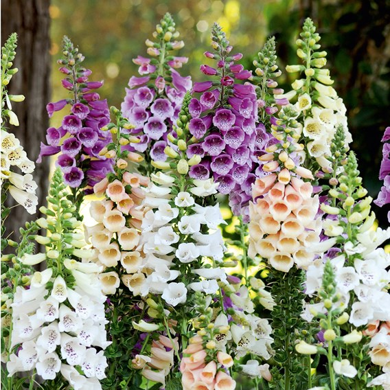 Digitalis Dalmatian Mixed
