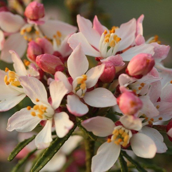 Choisya ternata Apple Blossom'®