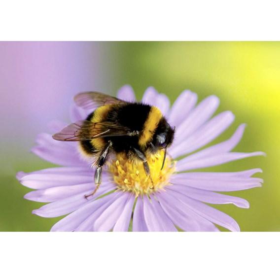 Beepol Bumblebee Live Colony Voucher