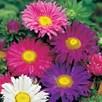 Aster Seeds - Lazy Daisy Mix