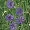 Cornflower Seeds - Field Cornflower