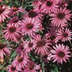 Rudbeckia Seeds - Purpurea, Brilliant Star