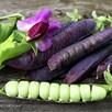 Pea Seeds - Blauwschokker