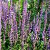 Salvia Caradonna