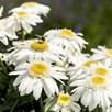 Leucanthemum Sweet Daisy Birdy