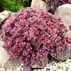 Sedum Plum Dazzled