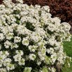 Choisya ternata Plant - White Dazzler