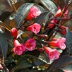 Weigela Florida Wine and Roses (Alexandra ) 3Ltr