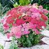 Achillea Plants - Summer Pastels