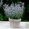 Calamintha Marvelette Blue Plant